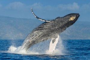 01humpbackwhales