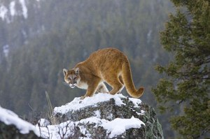 mountain-lion-on-snowy-rock