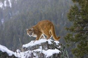 mountain-lion-on-snowy-rock