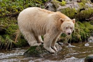 spirit-bear-on-rock2-1