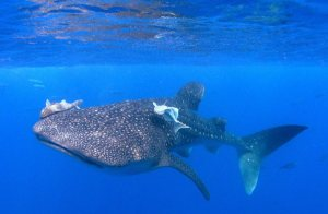 americas_galapagos_aggressor_whaleshark2_gallery