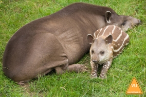 braziliantapir2