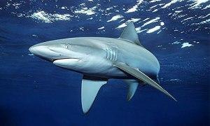 Carcharhinus-galapagensis-06