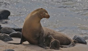 galapagos-sea-lion-1