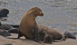 galapagos-sea-lion-1