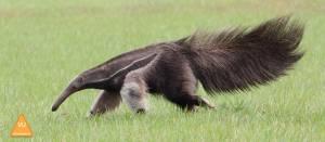 Giant-Anteater-Brazil-©-Jonathan-Rossouw