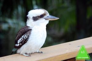 Laughing_Kookaburra_0