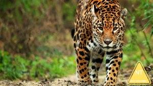 nws-st-brazil-jaguar