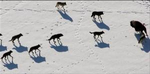 Gray wolves are seen nearing a Bison in Yellowstone National Park in this undated handout photograph