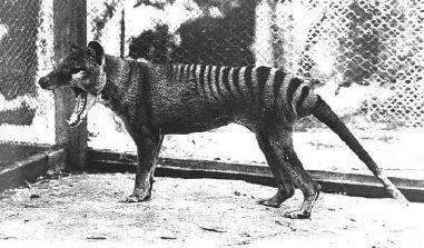 thylacine3.jpg