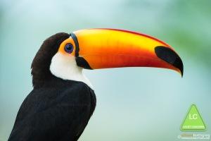 Toco-Toucan-Pantanal-Brazil-_J4A6380