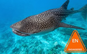 whale_shark_picture