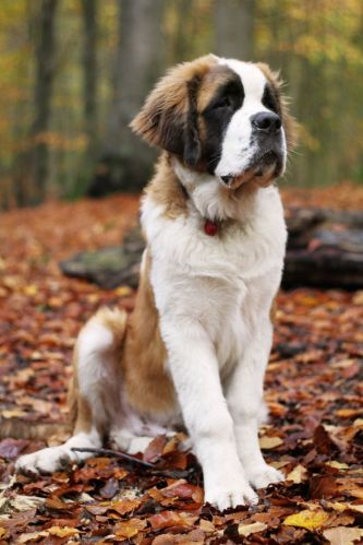 10db7d31b07272343588e1eb32d6b904--saint-bernard-puppies-saint-bernard-dog.jpg