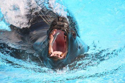 12290705-Sea-lion-catching-a-fish-in-aquarium-Stock-Photo.jpg