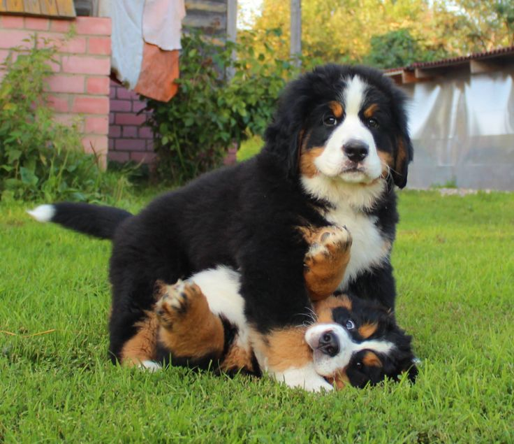 How to Train Bernese Mountain Dogs recommend