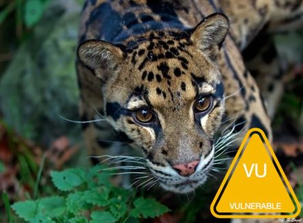 7aecec2e64a66a49eb3cbb9d366dba2f--clouded-leopard-twitter.jpg