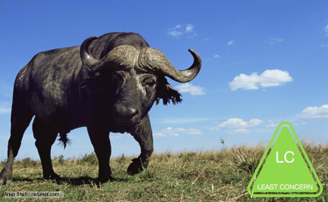 african_buffalo_1.jpg