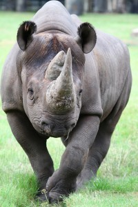 black-rhino-200x300.jpg