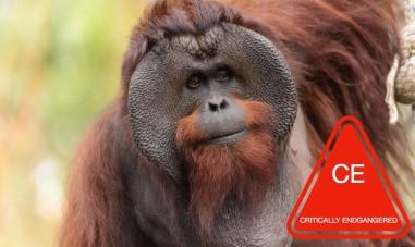 Bornean-Orangutan-Male-1020x610.jpg