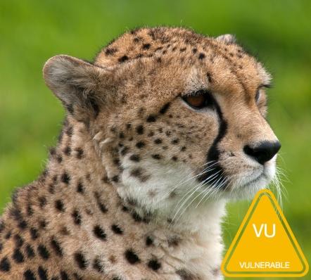 Cheetah_portrait_Whipsnade_Zoo.jpg