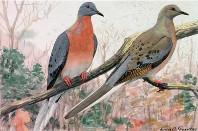 fuertes-passenger-pigeon-1000-990x743.jpg
