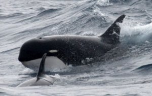 image_1172_1-killer-whale-type-d