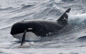 image_1172_1-killer-whale-type-d