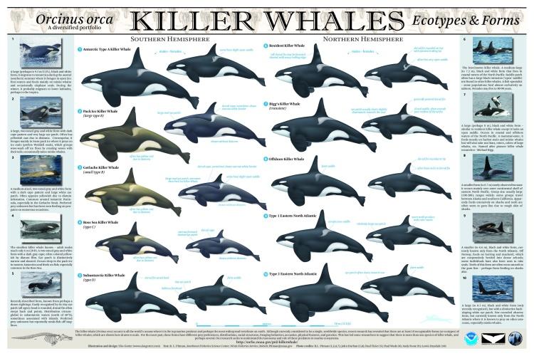 Killer Whale Poster - final.jpg