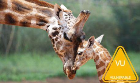 Misha-giraffe-670328.jpg