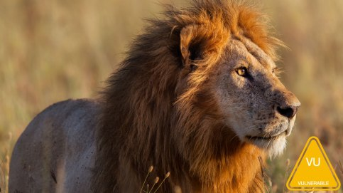 nws-st-african-lion-male.jpg