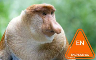 Proboscis_monkey.jpg