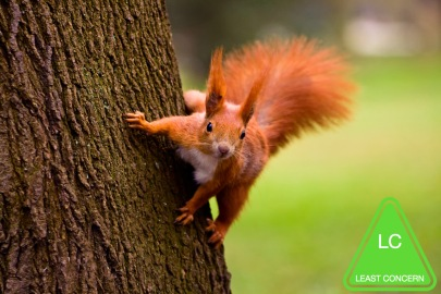 red_squirrel.jpg