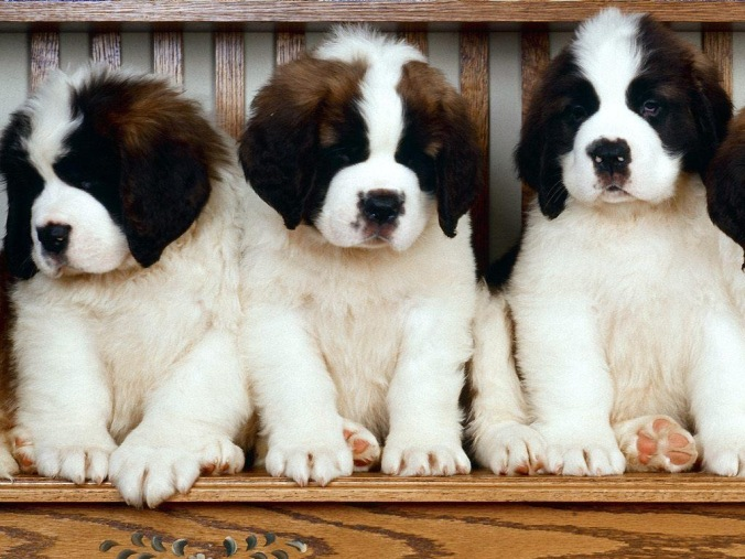 Saint-Bernard-Puppies.jpg