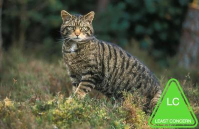 Scottish-wildcat-MS3000TIFF.jpg