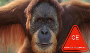 Sumatran_Orangutan_8.6.2012_Why_They_Matter_XL_257639.jpg