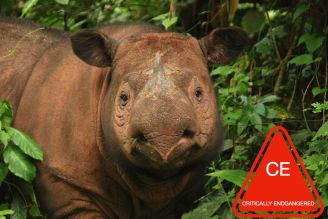 SumatranRhino_FaceForward_USE.jpg