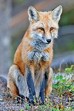 150px-Red_fox.jpg