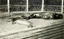 220px-Caribbean_monk_seals_New_York.jpg