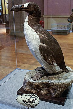 240px-Great_Auk_(Pinguinis_impennis)_specimen,_Kelvingrove,_Glasgow_-_geograph.org.uk_-_1108249.jpg