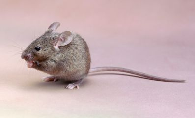 close-up-of-a-house-mouse--mus-musculus--135602059-59dd295f845b340012697deb.jpg
