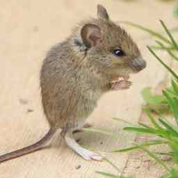 house-mouse-in-colorado.jpg