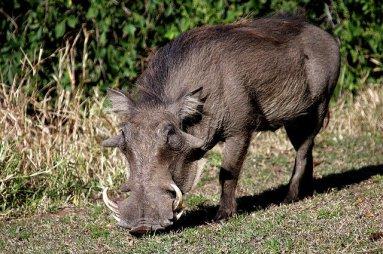 Wild-Boar-1_public-640x425.jpg
