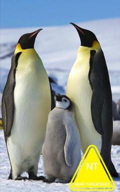 Aptenodytes_forsteri_-Snow_Hill_Island,_Antarctica_-adults_and_juvenile-8.jpg