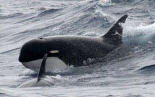 image_1172_1-killer-whale-type-d.jpg