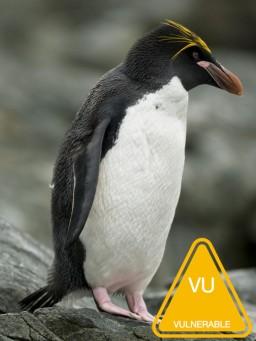 Macaroni_penguin.jpg