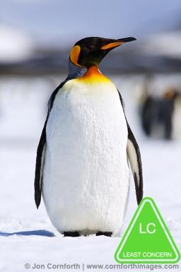 Right-Whale-Bay-King-Penguin-1.jpg