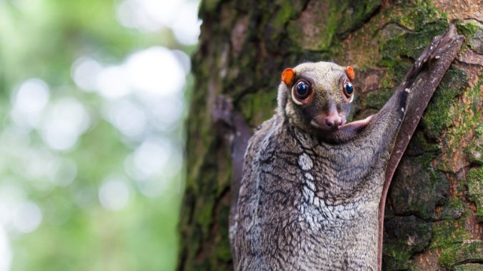 Sunda-flying-lemur.jpg