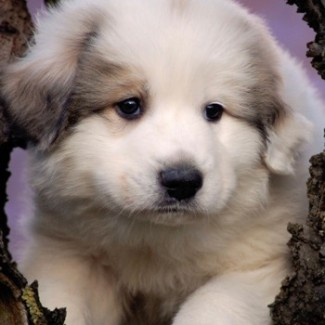 pyrenean-mountain-dog-puppy.jpg