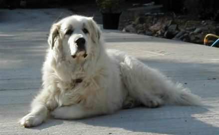 Pyrenean-Mountain-Dog.jpg